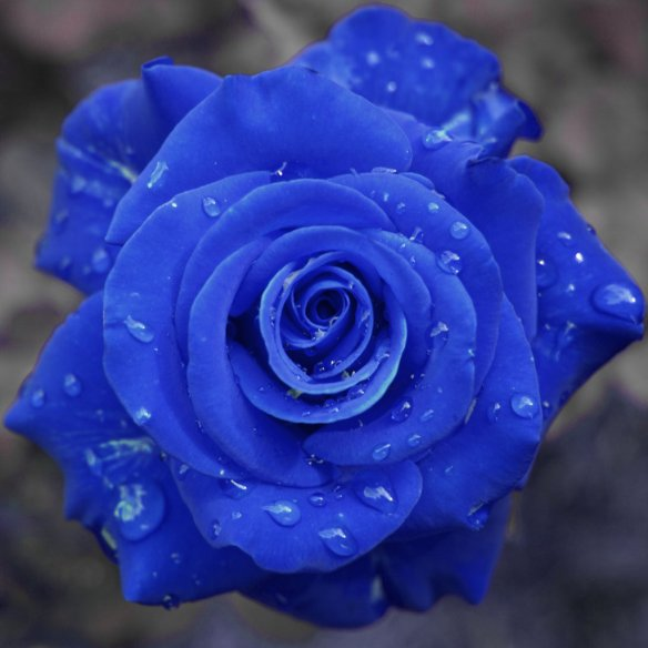 AJA ROSS GRAY WONDERLOVE BLUE ROSE